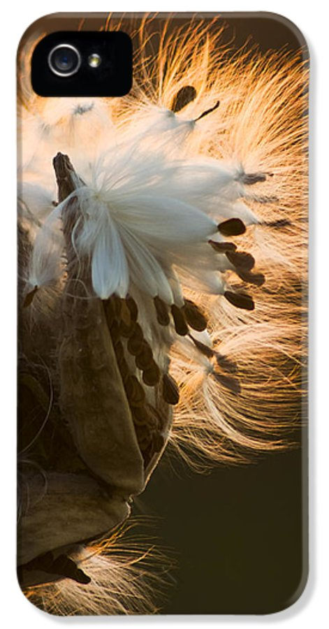 3scape Photos IPhone 5 Case featuring the photograph Milkweed Seed Pod by Adam Romanowicz