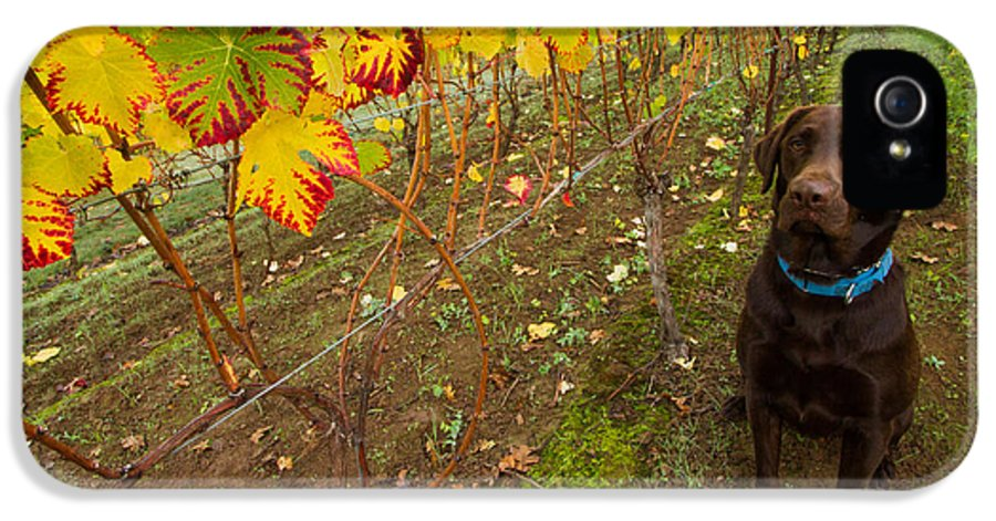 Labrador IPhone 5 Case featuring the photograph Nute Watches The Vines by Jean Noren