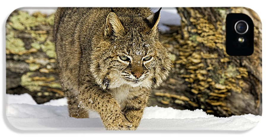 Bobcat IPhone 5 Case featuring the photograph On The Prowl by Jack Milchanowski