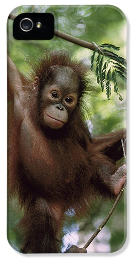 Feb0514 IPhone 5 Case featuring the photograph Orangutan Infant Hanging Borneo by Konrad Wothe