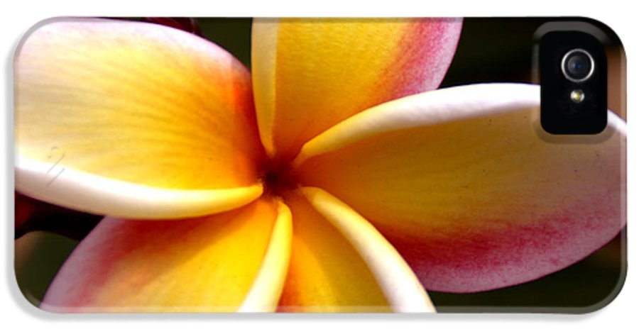 Still Life IPhone 5 Case featuring the photograph Pink And Yellow Plumeria by Brian Harig
