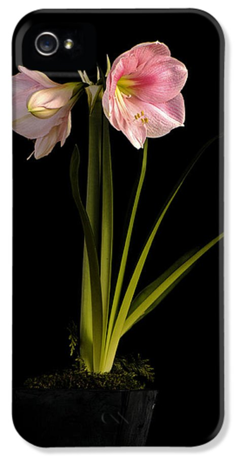 Flower IPhone 5 Case featuring the photograph Pink Diamond Amaryllis by Claudio Bacinello