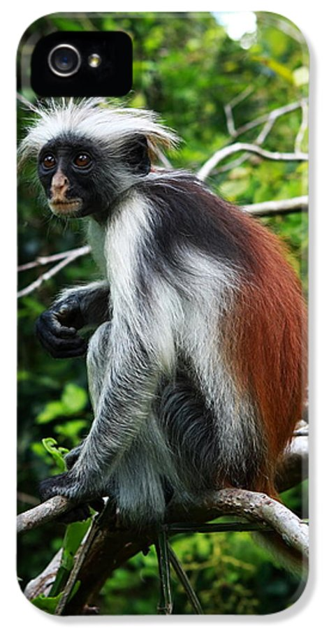 Colobus Monkey IPhone 5 Case featuring the photograph Red Colobus Monkey by Aidan Moran