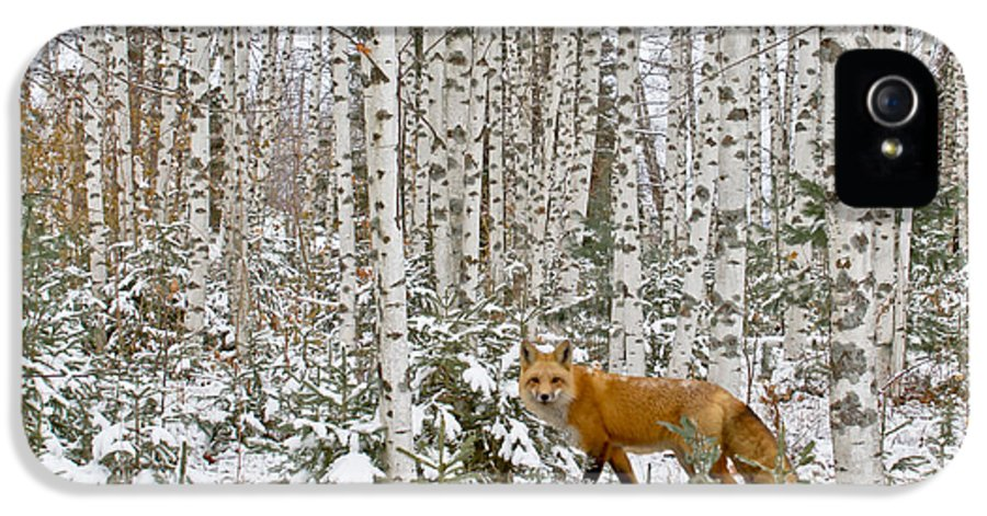 Barn IPhone 5 Case featuring the photograph Red Fox In Birches by Jack Zievis