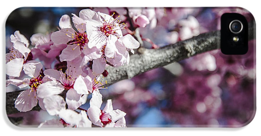 Japanese Sakura Blossoms In Springtime IPhone 5 Case featuring the photograph Sakura Blossoms by Anthony Citro