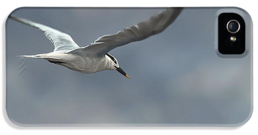 Bird IPhone 5 Case featuring the digital art Sandwich Tern by Aaron Blaise