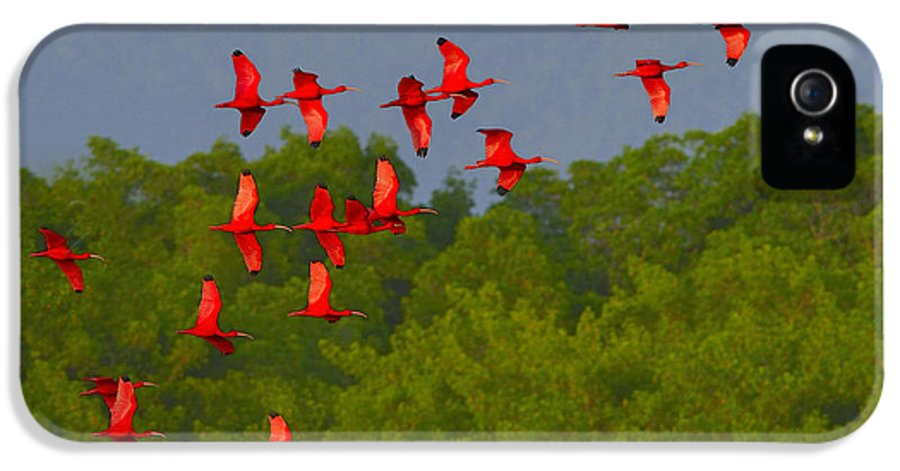 Scarlet Ibis IPhone 5 Case featuring the photograph Scarlet Ibis by Tony Beck