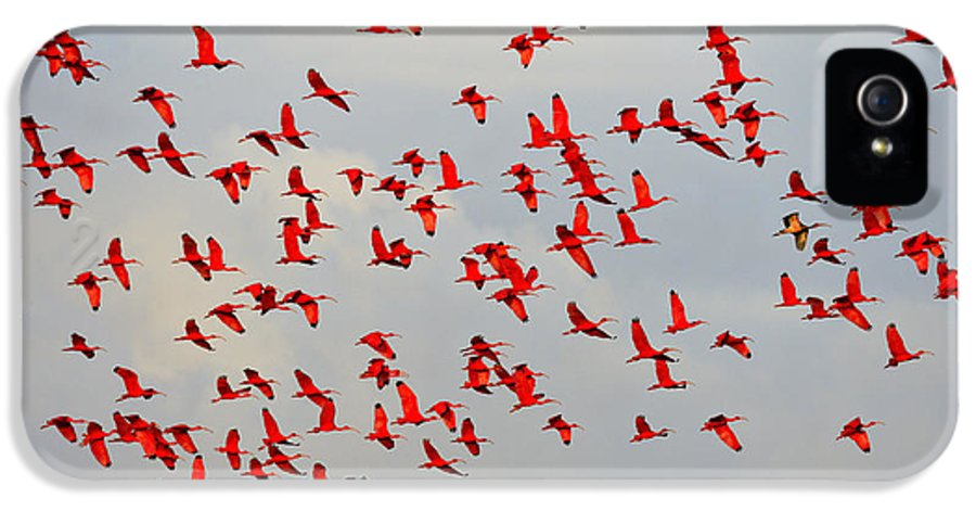 Scarlet Ibis IPhone 5 Case featuring the photograph Scarlet Sky by Tony Beck