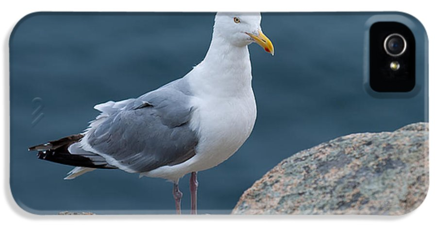 Acadia National Park IPhone 5 Case featuring the photograph Seagull by Sebastian Musial