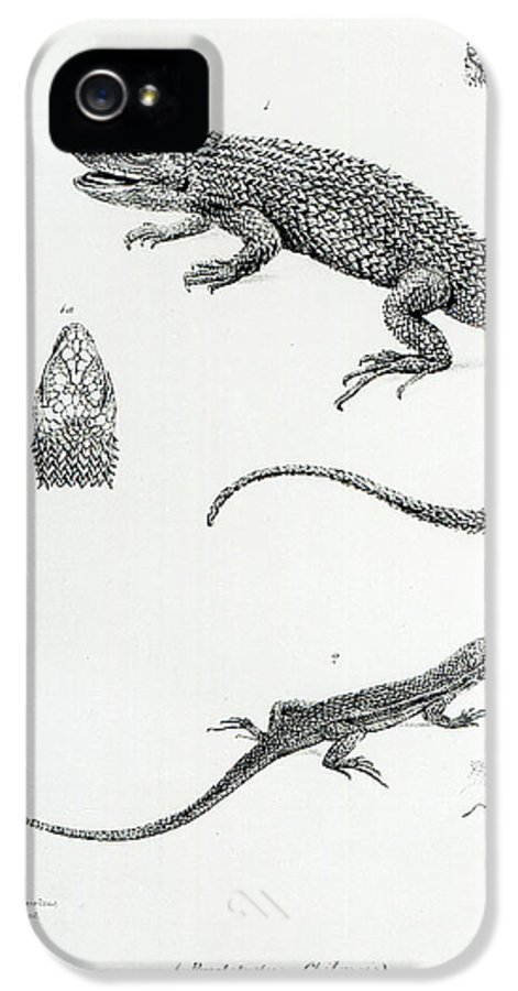 Nature IPhone 5 Case featuring the painting Shingled Iguana by English School
