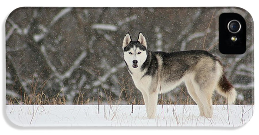 Landscape IPhone 5 Case featuring the photograph Siberian Husky 20 by David Dunham