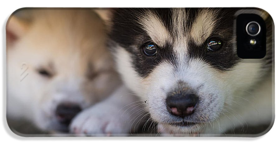 Puppy IPhone 5 Case featuring the photograph Siberian Husky Pups by Benita Walker