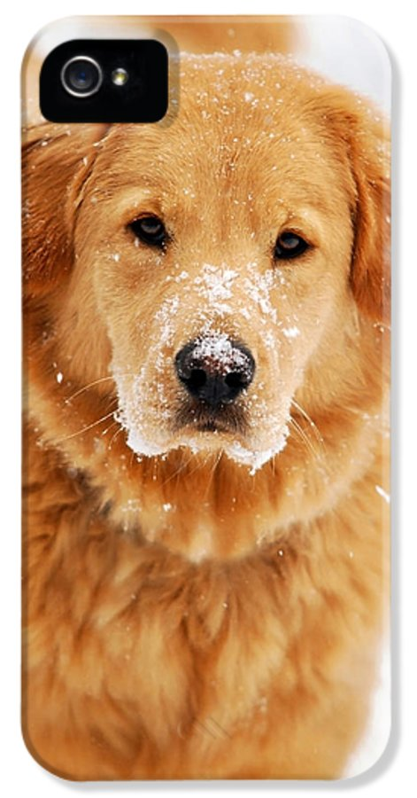 Snowy IPhone 5 Case featuring the photograph Snowy Golden Retriever by Christina Rollo