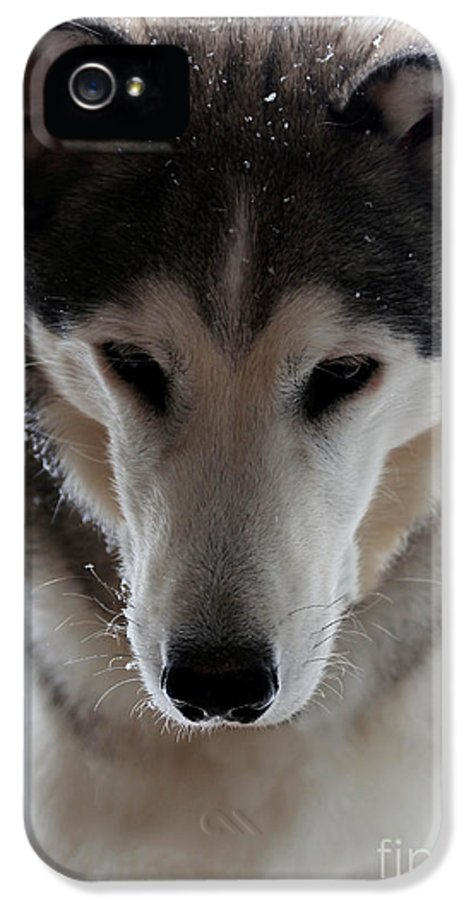 Dog IPhone 5 Case featuring the photograph Snowy Husky Nanuk by Marjorie Imbeau