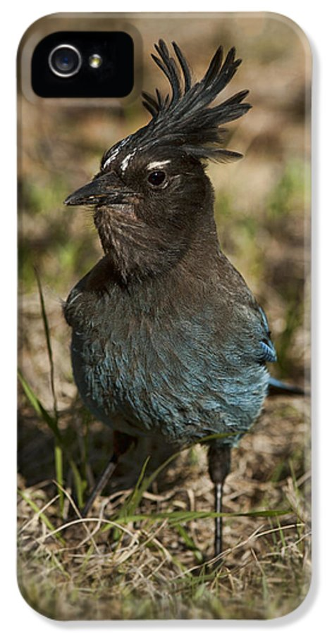 Bird IPhone 5 Case featuring the photograph Stellar's Jay - Inland Race by Gregory Scott