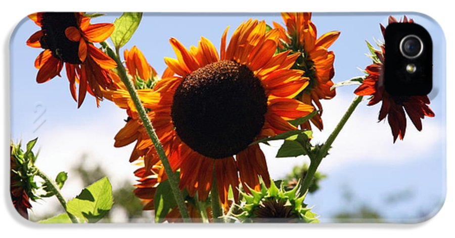 Sunflowers IPhone 5 Case featuring the photograph Sunflower Symphony by Karen Wiles