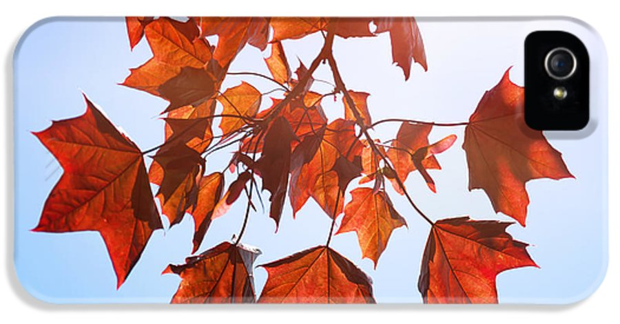 Art Print IPhone 5 Case featuring the photograph Sunlight On Red Leaves by Natalie Kinnear