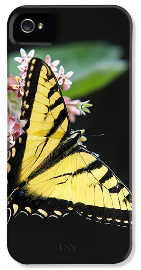 Swallowtail Butterfly IPhone 5 Case featuring the photograph Swallowtail Butterfly And Milkweed Flowers by Christina Rollo