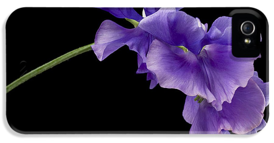 Annual IPhone 5 Case featuring the photograph Sweet Pea Study by Anne Gilbert