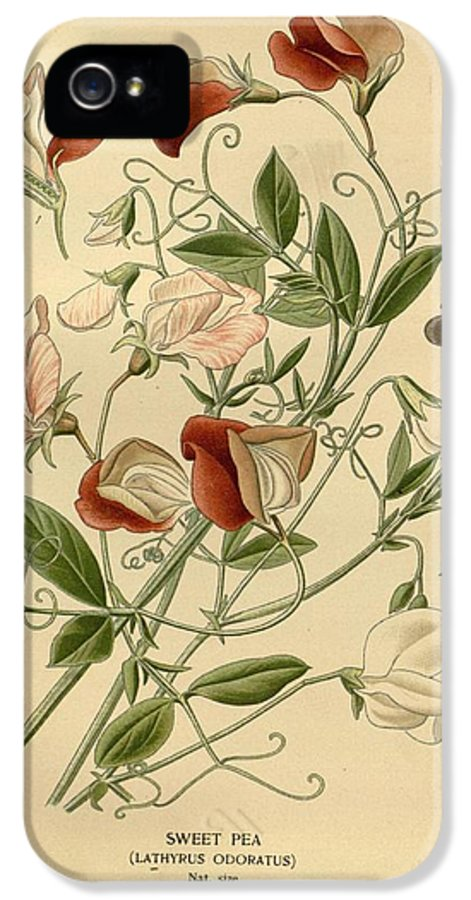 Sweet Peas IPhone 5 Case featuring the painting Sweet Peas by Philip Ralley