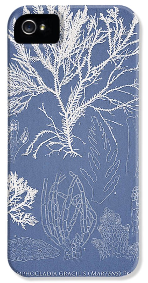 Algae IPhone 5 Case featuring the drawing Symphocladia Gracilis by Aged Pixel