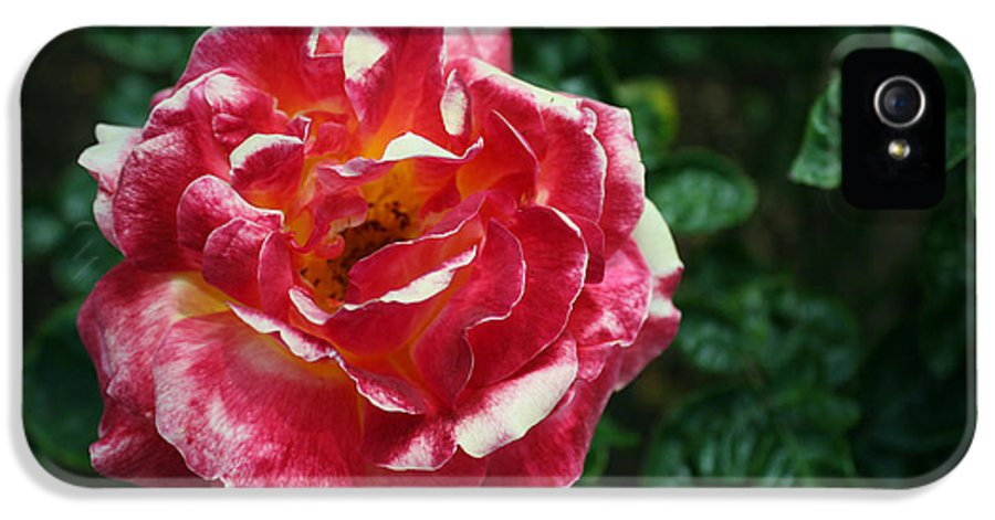 Rose IPhone 5 Case featuring the photograph Texas Centennial Rose by M Valeriano