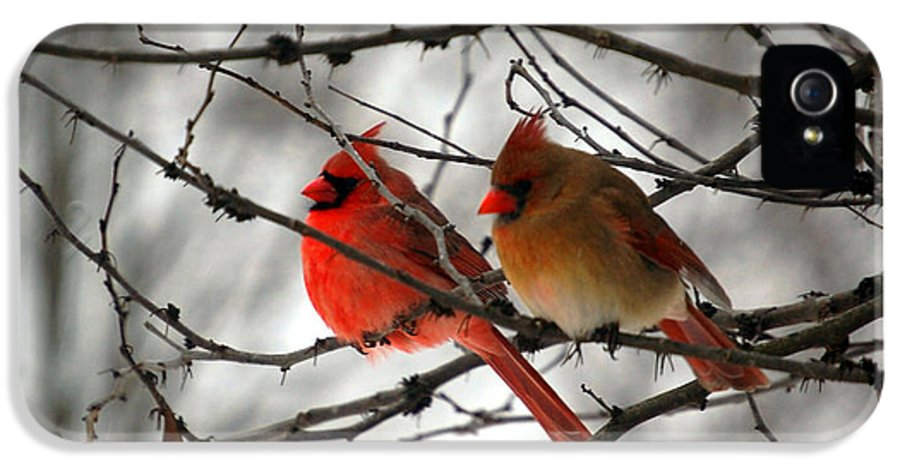 Cardinals IPhone 5 Case featuring the photograph True Love Cardinal by Peggy Franz