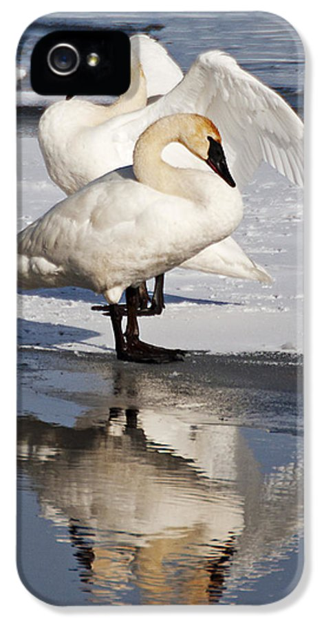Swans IPhone 5 Case featuring the photograph Trumpeter Swans by Doug Davidson