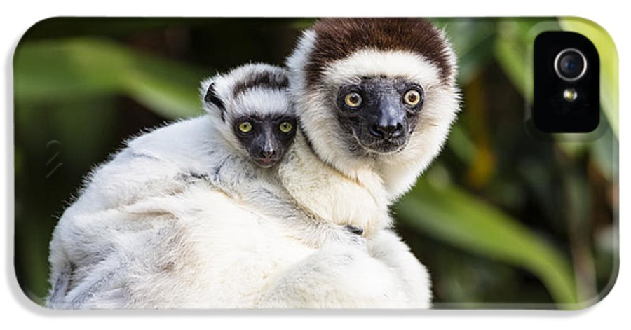 Feb0514 IPhone 5 Case featuring the photograph Verreauxs Sifaka With Baby Madagascar by Konrad Wothe