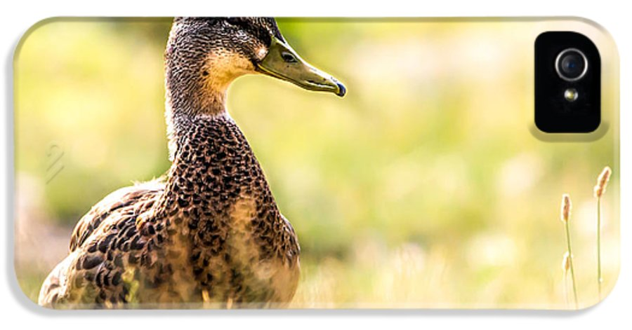 Duck IPhone 5 Case featuring the photograph Warm Summer Morning And A Duck by Bob Orsillo