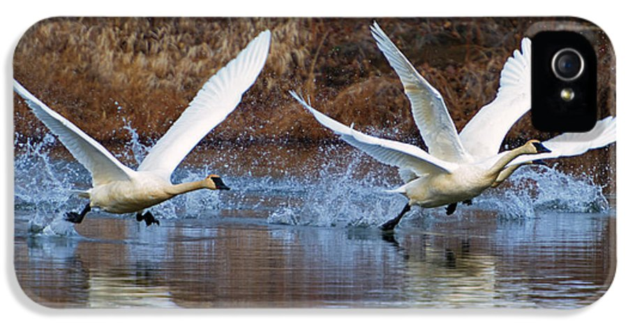 Swans IPhone 5 Case featuring the photograph Water Dance by Mike Dawson