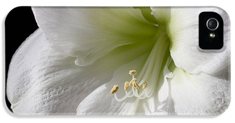 3scape Photos IPhone 5 Case featuring the photograph White Amaryllis by Adam Romanowicz