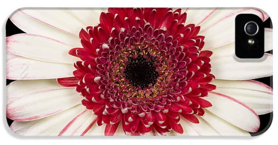 3scape Photos IPhone 5 Case featuring the photograph White And Red Gerbera Daisy by Adam Romanowicz