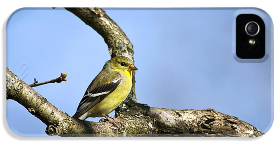 Bird IPhone 5 Case featuring the photograph Wild Birds - American Goldfinch by Christina Rollo