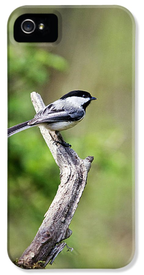 Bird IPhone 5 Case featuring the photograph Wild Birds - Black Capped Chickadee by Christina Rollo