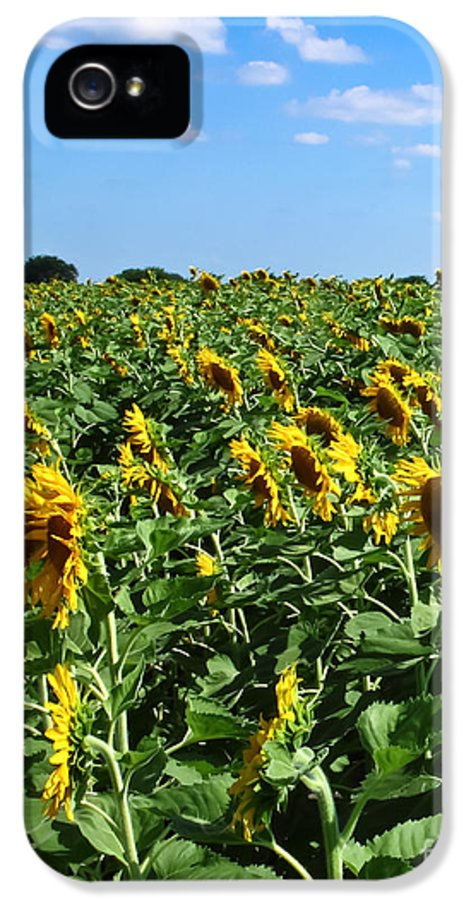 Sunflower IPhone 5 Case featuring the photograph Windblown Sunflowers by Robert Frederick