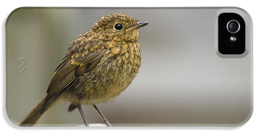 Bench IPhone 5 Case featuring the photograph Young Robin by Anne Gilbert