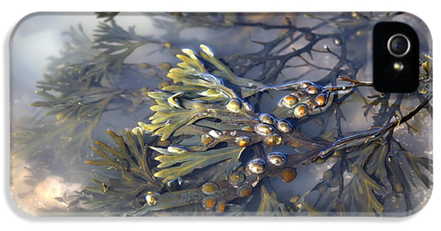 Fucus Vesiculosus IPhone 5 Case featuring the photograph Bladder Wrack (fucus Vesiculosus) by Dr Keith Wheeler
