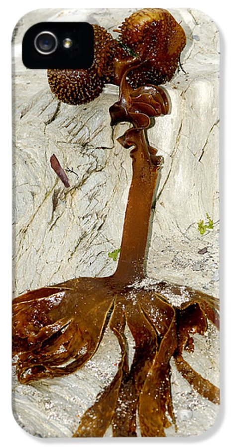 Furbelows Seaweed IPhone 5 Case featuring the photograph Furbelows Seaweed, Saccorhiza Polyschides by Dr Keith Wheeler