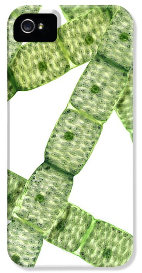 Spirogyra Sp. IPhone 5 Case featuring the photograph Spirogyra Algae, Light Micrograph by Steve Gschmeissner