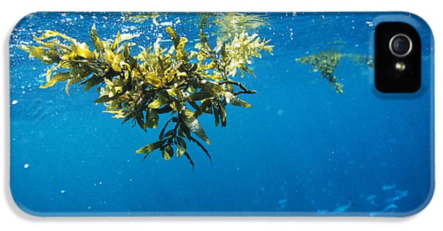 Alga IPhone 5 Case featuring the photograph Tropical Seaweed by Alexis Rosenfeld