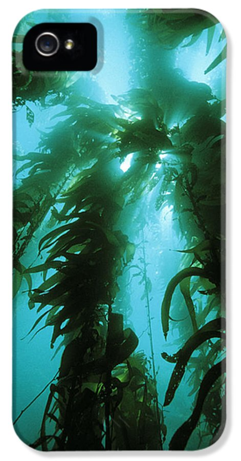 Giant Kelp IPhone 5 Case featuring the photograph Giant Kelp by Georgette Douwma