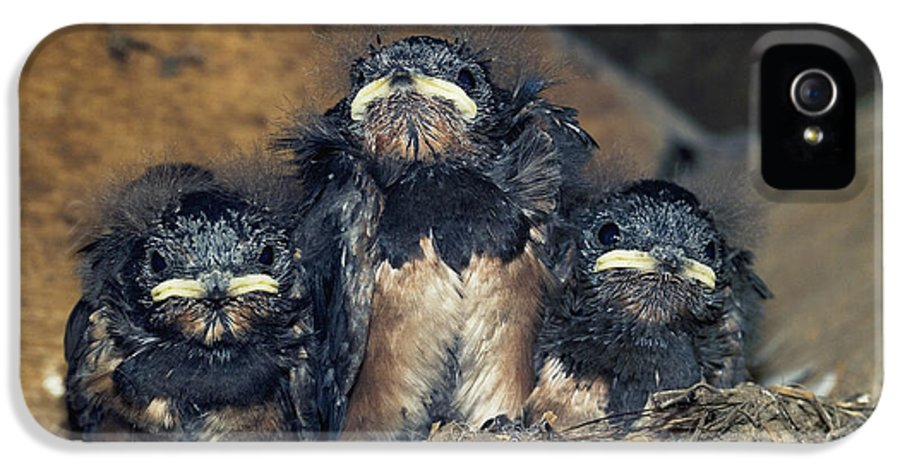 Hirundo Rustica IPhone 5 Case featuring the photograph Swallow Chicks by Georgette Douwma