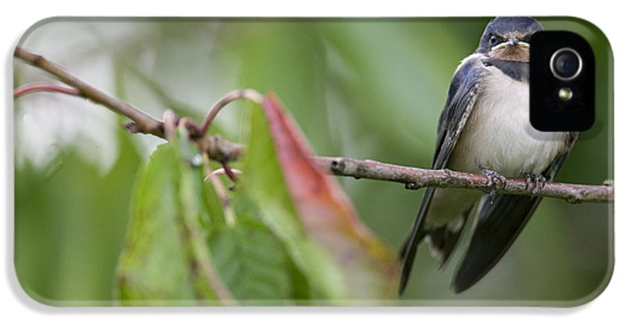 Mp IPhone 5 Case featuring the photograph Barn Swallow Hirundo Rustica Fledgling by Cyril Ruoso