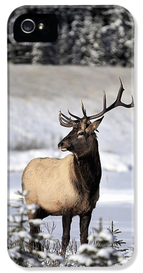 Animals IPhone 5 Case featuring the photograph Elk Cervus Canadensis Bull Elk During by Richard Wear