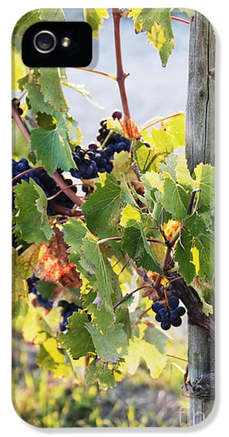 Agriculture IPhone 5 Case featuring the photograph Grapes On Vine by Jeremy Woodhouse