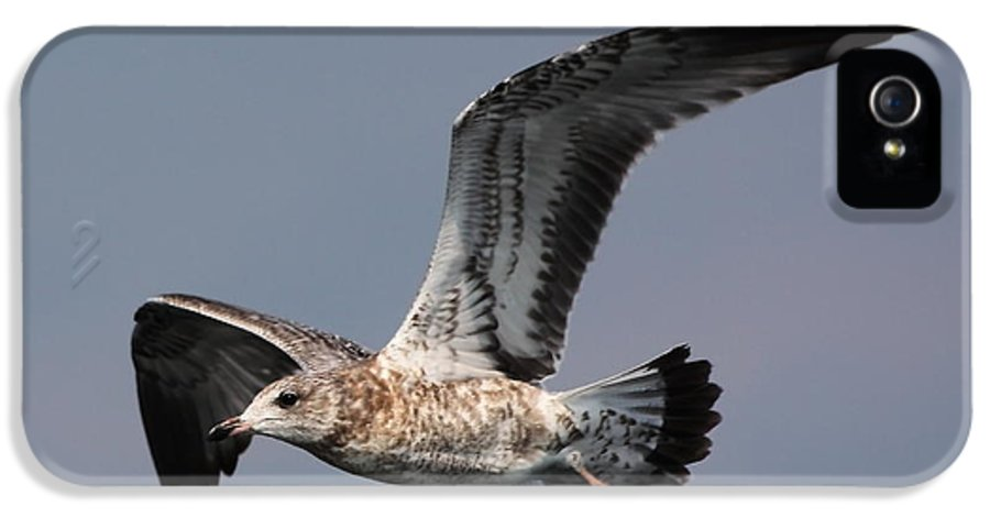 Seagull IPhone 5 Case featuring the photograph Gull In Flight by Marjorie Imbeau