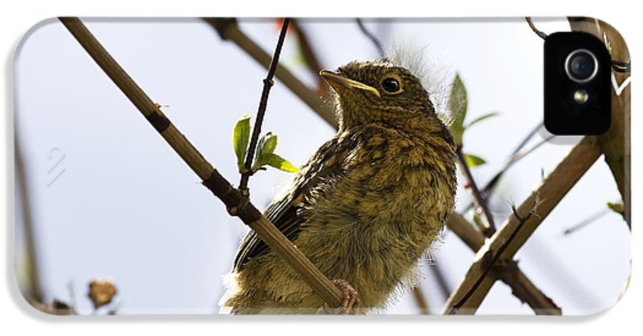 Alone IPhone 5 Case featuring the photograph Juvenile Robin by Jane Rix