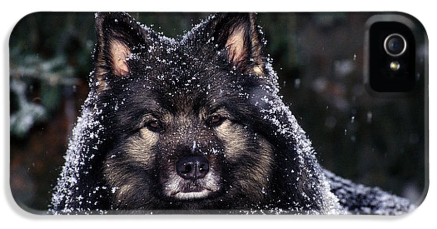 Close Shot IPhone 5 Case featuring the photograph Keeshond Dog, Winnipeg, Manitoba by Mike Grandmailson
