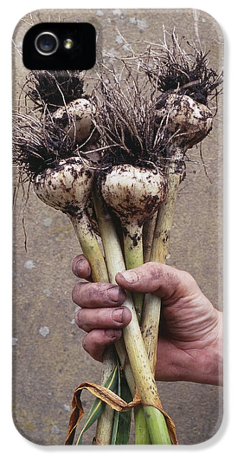 Serpent Garlic IPhone 5 Case featuring the photograph Organic Serpent Garlic by Maxine Adcock